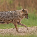 Golden Jackal (3)