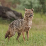 Golden Jackal (4)