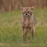 Golden Jackal (5)
