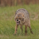 Golden Jackal (6)