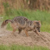 Golden Jackal (7)