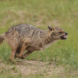 Golden Jackal (8)