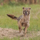 Golden Jackal (9)