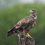 White-tailed Eagle (1)