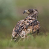 White-tailed Eagle (2)