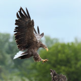 White-tailed Eagle (3)