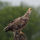 White-tailed Eagle (4)