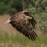 White-tailed Eagle (5)