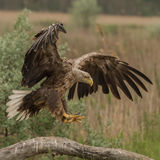 White-tailed Eagle (6)