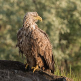 White-tailed Eagle (8)