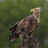 White-tailed Eagle (9)