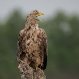 White-tailed Eagle (10)
