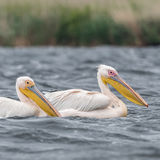 Great White Pelican (1)