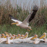 Great White Pelican (4)