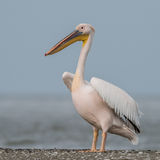 Great White Pelican (6)