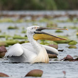 Dalmatian Pelican (3)