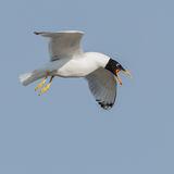 Pallas's Gull (2)