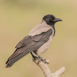 Hooded Crow (2)