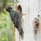 Black Woodpecker (1)