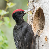Black Woodpecker (2)