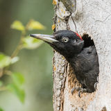 Black Woodpecker (3)