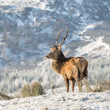 Red Deer (1)