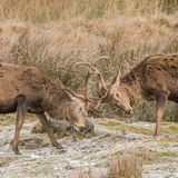 Red Deer (4)
