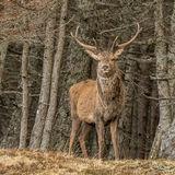 Red Deer (6)
