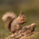 Red Squirrel (3)