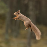 Red Squirrel (4)