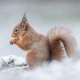 Red Squirrel (5)