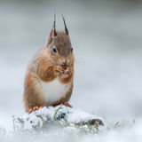 Red Squirrel (6)