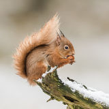 Red Squirrel (8)