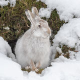 Mountain Hare (1)