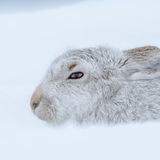 Mountain Hare (2)