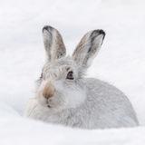 Mountain Hare (3)