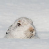 Mountain Hare (4)