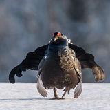 Black Grouse (2)