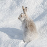 Mountain Hare (7)