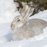 Mountain Hare (8)