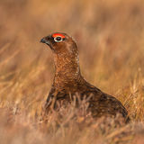 Red Grouse (1)