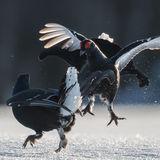 Black Grouse (8)
