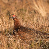 Red Grouse (3)