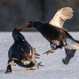 Black Grouse (10)