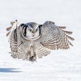 Northern Hawk Owl (1)