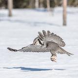 Northern Hawk Owl (2)