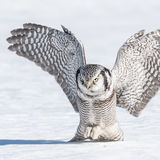 Northern Hawk Owl (4)
