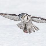 Northern Hawk Owl (5)