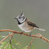 Crested Tit (1)