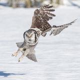 Northern Hawk Owl (6)
